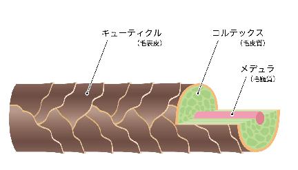 髪の断面図
